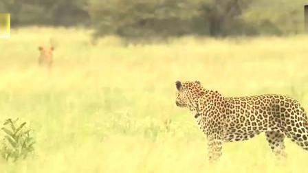 狮子VS水牛与豹子VS鬣狗四种顶级猛兽激战,没想到是这结果!