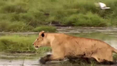 母狮子盯上刚出生小水牛 水牛妈妈尽力阻止还是惨遭毒手