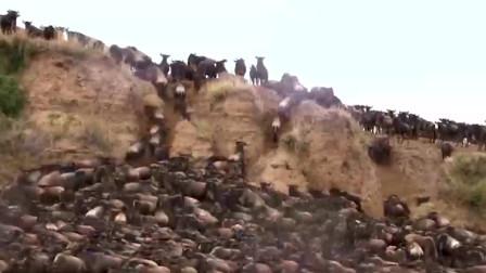 150万非洲牛羚大迁徒 狮子猎豹也阻挡不了大军的步伐
