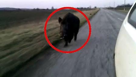 游客驱车途经野外,不料被欧亚野猪狂追,结果会怎样呢?