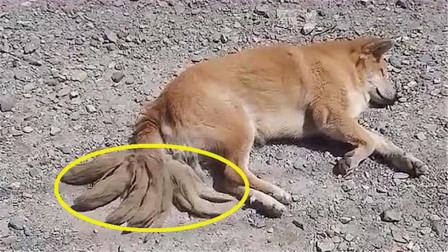 马路边躺着一只小狗,身后长有9条尾巴?仔细看后发觉不对劲