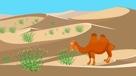 同学们,骆驼刺在防风沙方面起到重要作用,也是骆驼在沙漠中不可缺少的食物补给