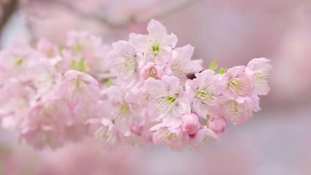 花开了!武汉东湖樱园迎来盛开期 樱花迎风摇曳美不胜收