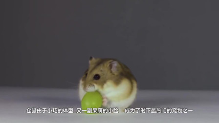 把仓鼠丢进一箱葵花籽中, 不出10分钟, 仓鼠的模样太可爱了