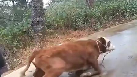 小黄牛很久没有出门了,结果连路都不会走,尴尬啊!