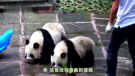熊猫:今天小郡主过生日,我也能跟着沾光吃点好吃的了