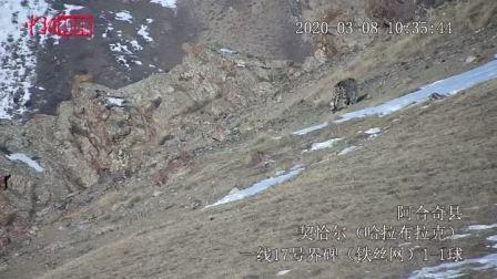 阿合奇县拍摄到雪豹活动影像