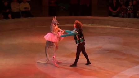 马戏团袋鼠跳舞,袋鼠极不配合,现场笑喷了!