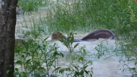 """正逢暴雨,村民发现水里有""""黑影""""游动,看清后竟是海象鱼"""
