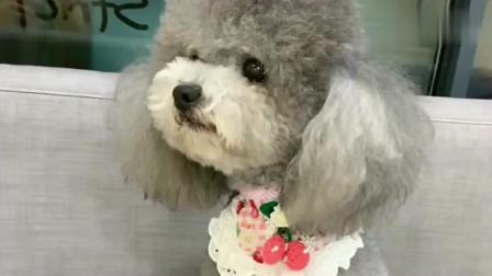 一只刚洗完澡的狗狗,这模样真是太可爱了,哈哈