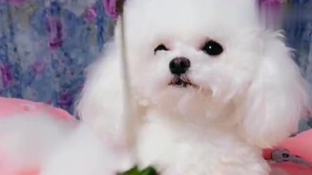 一只想吃草莓的狗狗,这小声音真是醉了,哈哈