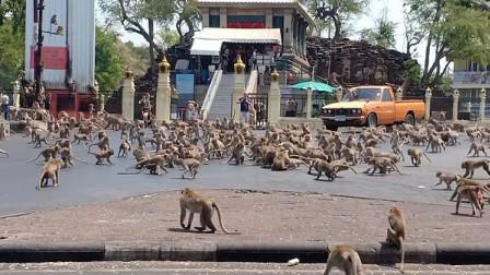 """嗅君葩闻 游客锐减!泰国数百只饥饿猴子街头上演""""香蕉争夺战"""""""