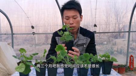 欧洲窗台垂吊天竺葵小苗终于到货了,开花像瀑布花量巨大养护简单