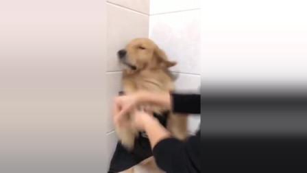金毛不肯脱衣洗澡,主人给它一个大嘴巴子后,立马变了一条狗