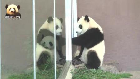 熊猫宝宝怎么也想不明白,为啥玻璃里有个和自己一模一样的家伙?