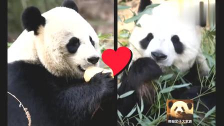 熊猫贝贝坐进塑料筐里称体重,又乖又萌,可爱的不像话
