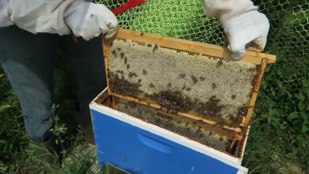 野生蜂蜜真的好吗,和人工养殖产出的有什么区别?看完才知道