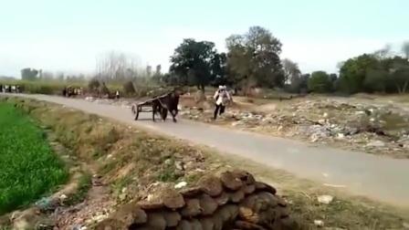 印度神牛,自带ABS刹车系统的牛车
