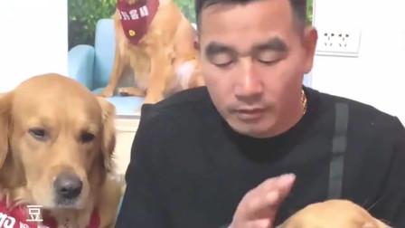 主人把金毛支开,还偷摸给别的狗吃肉干,它看到后心都快碎了