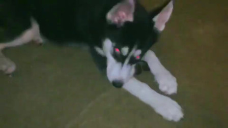 这条哈士奇好像得了红眼病, 眼睛通红的,哈士奇表示这是我的写轮眼