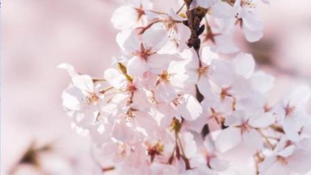 网络直播武汉樱花盛开, 网友足不出户即可欣赏到武大的樱花美景