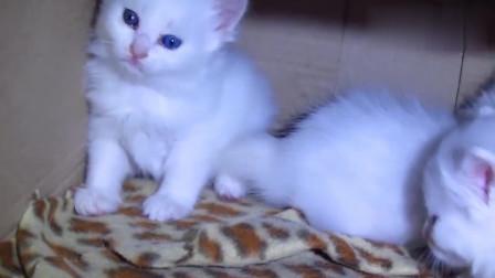 一窝蓝眼小白猫,太可爱了
