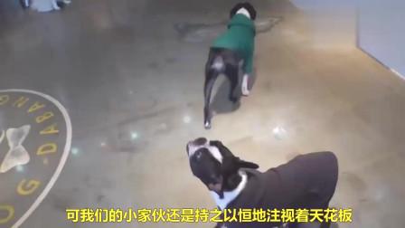 狗狗对着天花板嚎叫,原来是发现了一只苍蝇,至于吗?