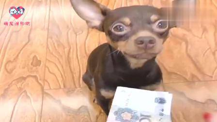 狗狗叼来红包让女主人给装钱,一块不要非要一百的,看完忍住别笑