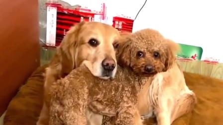泰迪就是金毛的小枕头,主人一声令下就能精准地找到位置,真逗