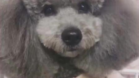 一只会撒娇的狗狗,这小声音真是醉了,哈哈