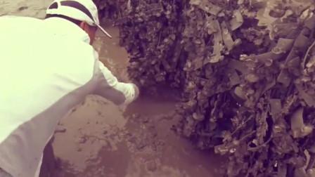 赶海发现很多螃蟹洞,挖出螃蟹那一刻太爽了