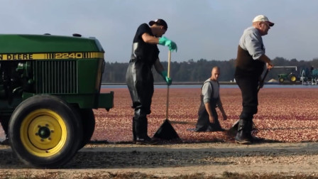 果农收好蔓越莓之后,把蔓越莓直接扔到湖里,这方法太聪明了