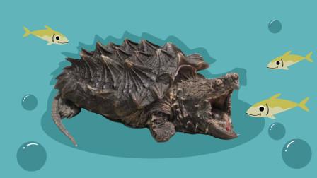 同学们,大鳄龟的捕食方式是钓鱼,你知道它用什么钓鱼的吗?
