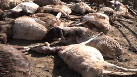 流浪猛兽闯进村庄,羊圈的羊儿无一生还,太凶猛了!
