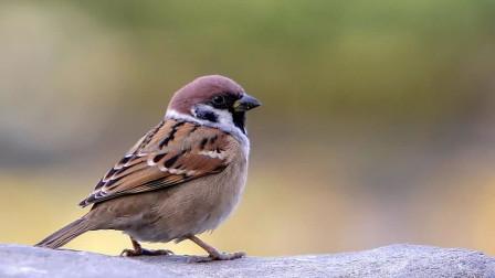 活泼可爱的麻雀为什么不能当宠物?就算被人抓到了,也养不活几天