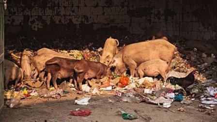印度猪肉10元一斤,为何这么便宜?看看他们如何养猪就知道了