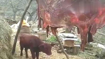 小牛抬头闻闻妈妈的味道,眼神中充满了绝望