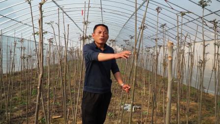 种植香椿别盲目,科学种植方法来了,一年轻松赚十几万!
