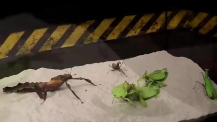 """""""五毒""""之首的蝎子和螳螂展开对决,谁会更胜一筹?答案你绝对想不到!"""