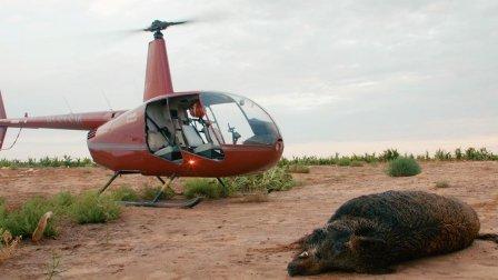 牛人竟开直升机捕捉巨大野猪,场面堪比大片一样,简直壮观不已!