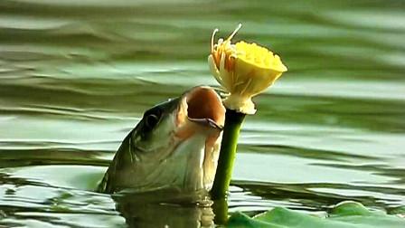 鱼吃荷花(素材后期制作练习)