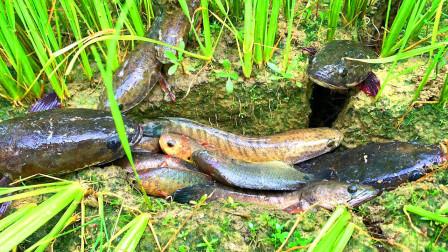 稻田干裂了,大哥下田搞野,沿着裂缝就能抓到鱼,太开心了!