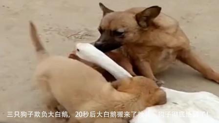 三只狗子欺负大白鹅,20秒后大白鹅搬来了救兵,狗子彻底绝望了