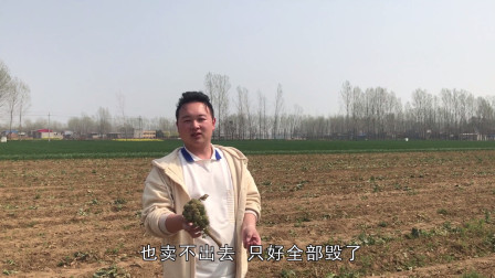 农村蔬菜种植基地,30亩西蓝花全部毁掉一颗不卖,发生了啥事