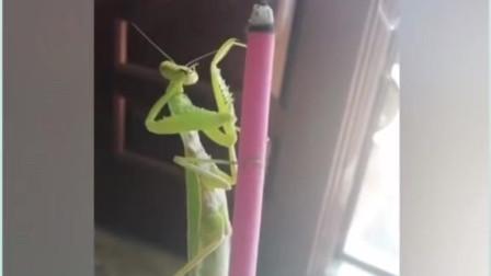 螳螂:真香啊