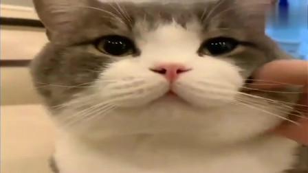 萌宠猫咪:一只头被摸平的猫咪,土豆:我什么都不敢想!