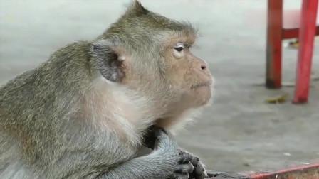 猴妈妈孕吐,想吐又吐不出来,跟人类怀孕一样真辛苦