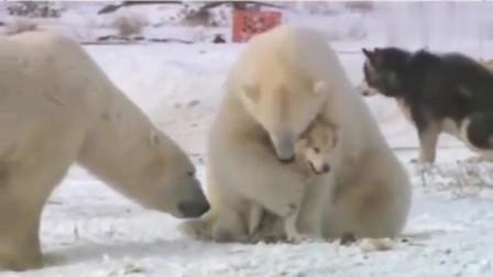 北极熊你们弄错了,我真不是你们的孩子