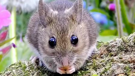 其实小老鼠也有可爱卖萌的一面,你会因为这条视频,喜欢上它吗?