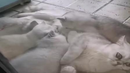 主人一家感染住院 宠物猫独自生活40天生4只小猫坐完了月子